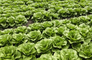Romaine lettuce growing on a farm