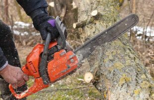 A man saws a trunk of locust tree with an orange chain saw for gasoline to clean garden or park. Large acacia tree was damaged by storm with a strong wind. A lot of sawdust fly around.